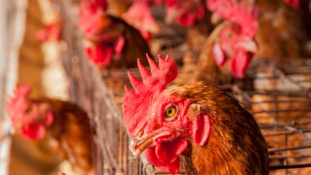 Foster Farms Makes Huge Move Away from Antibiotics in Chicken