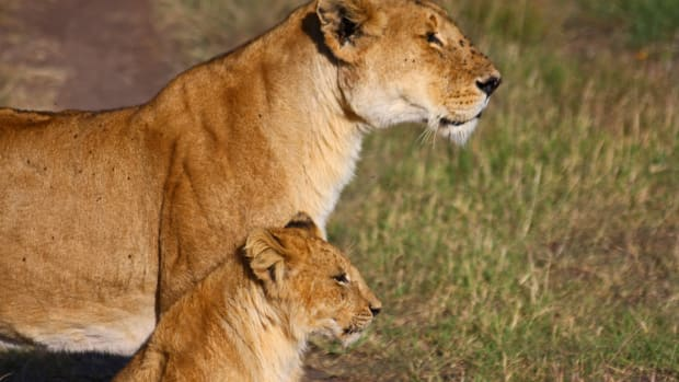 You Can Still Eat African Lion Meat in the U.S., but Not for Long