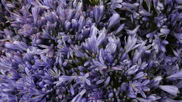 lavender6-15