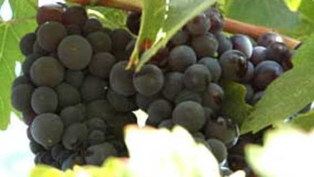 grape-clusters1