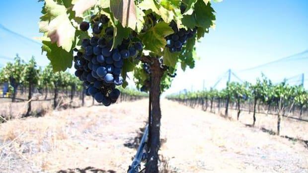 grape-harvest-ccflcr-roomjosh