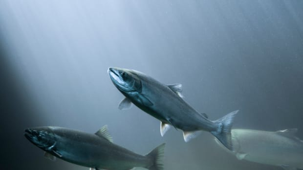 Canada Becomes First Country to (Unwittingly) Consume GMO Salmon