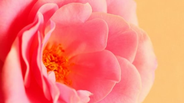 rosewater-ccflcr-Pink-Sherbet-Photography