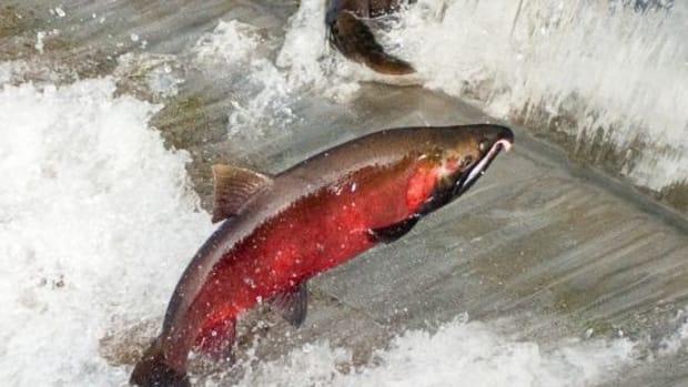 salmon-ccflcr-soggydan