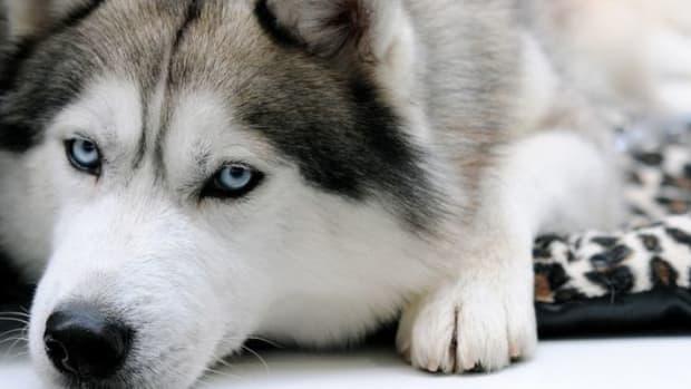 puppy-ccflcr-Y