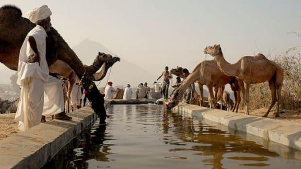 camels-ccflcr-koshyk