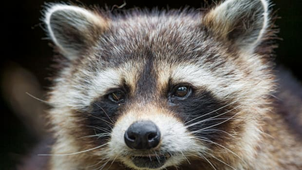 LA Market Selling Whole Raccoons as Food Under Investigation