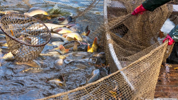 23 Million Farmed Fish Die as Chile Battles Warming Ocean and Algal Blooms