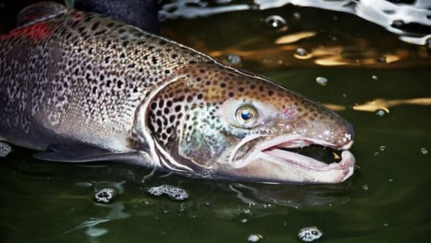 salmon-ccflcr-U.-S.-Fish-and-Wildlife-Service-Northeast-Region