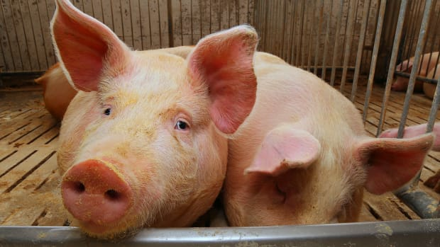 Third Undercover Footage of Hormel Supplier Shows Widespread Animal Abuse
