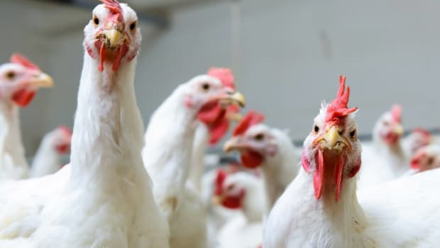 'Systemic Horrors': Rampant Animal Abuse Caught on Film at Tyson Chicken Supplier