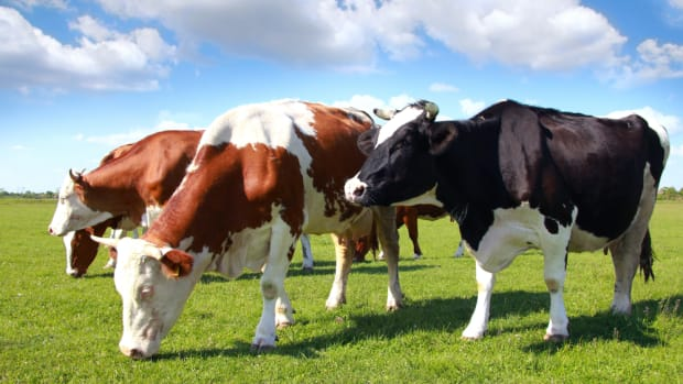 beef fed a gmo free diet can now be labeled as such