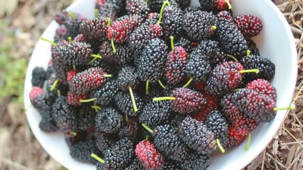 mullberries-ccflcr-raelene-g