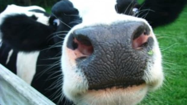 dairy_cows-300x2252