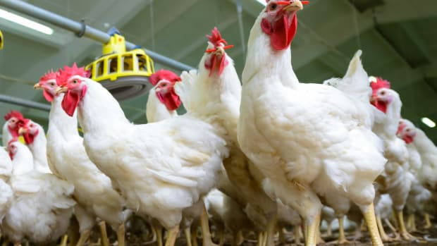 Perdue Farms One Year After Animal Welfare Commitment