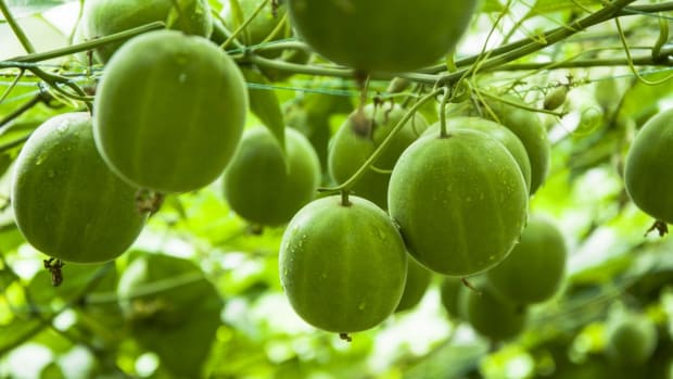 The Buzziest New Sugar Alternative: Monk Fruit