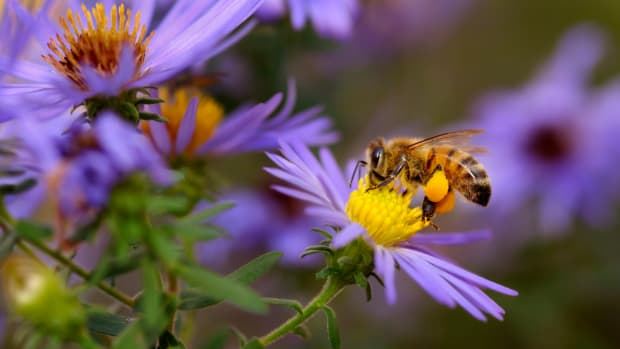 Alternatives to Neonicotinoids Could Be Even Worse for Honey Bees