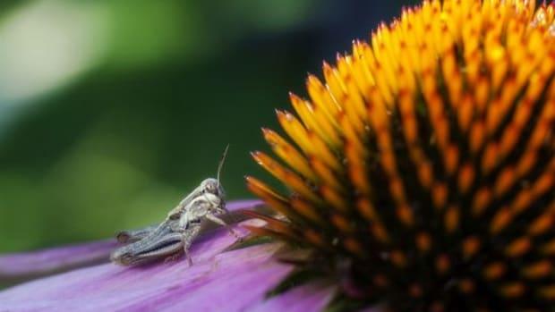 echinacea-ccflcr-nomadiclass