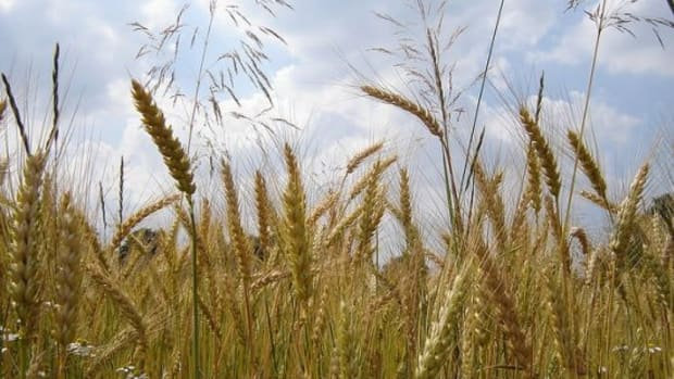 wheat-ccflcrstorebukkebruse1