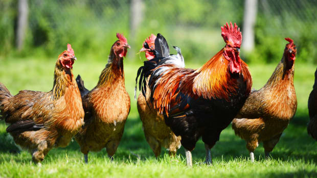 usda organic chickens must have 1 square foot of space