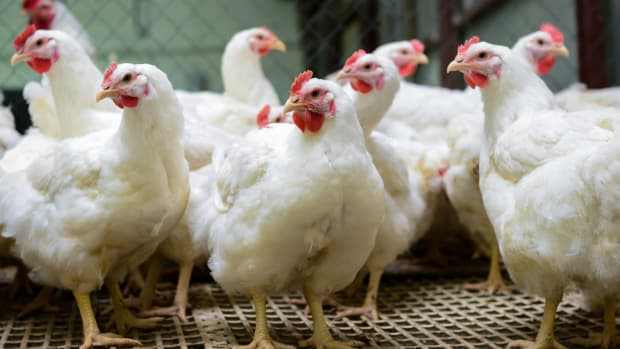 Organic Leaders Demand USDA Reinstate Animal Welfare Rules