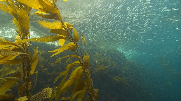 There are lots of seaweed and kelp recipes out there.