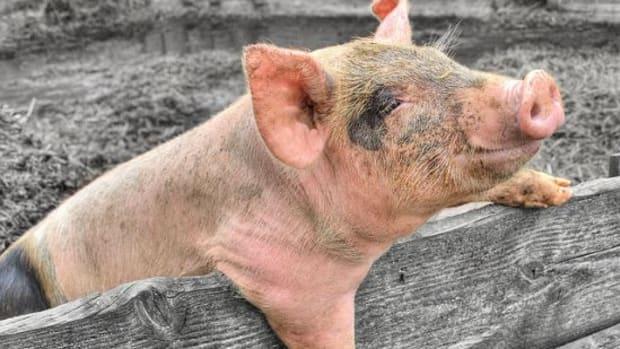 piggy-ccflcr-maurice