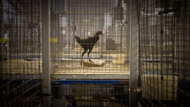 caged-ccfclr-OrinZebest1