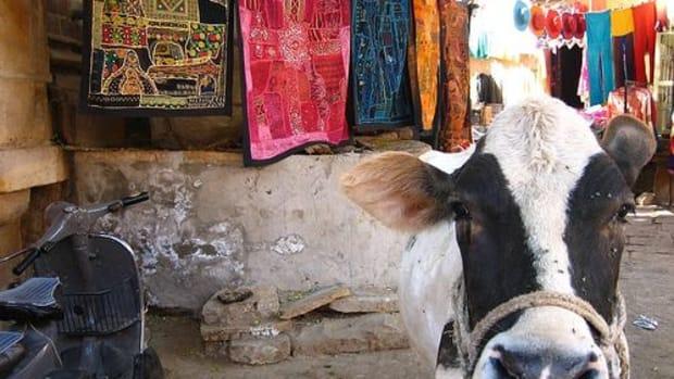 sacred-cow-ccflcr-jeremy-vandel