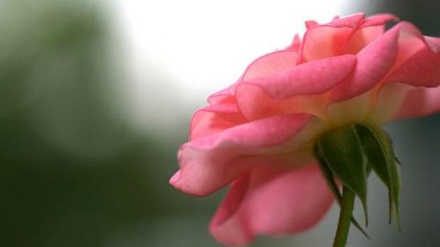 rose-ccflcr-hichako