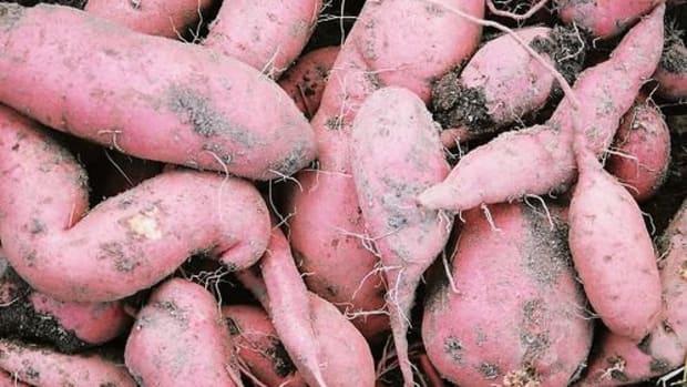 sweetpotatoes-ccflcr-amandad