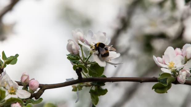 Bumblebees Exposed to Pesticides Linked to Poor Apple Crop Quality, Study Finds