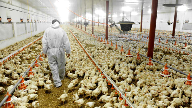 Tyson Foods Tackles Animal Cruelty With Video Monitoring at 33 Poultry Farms