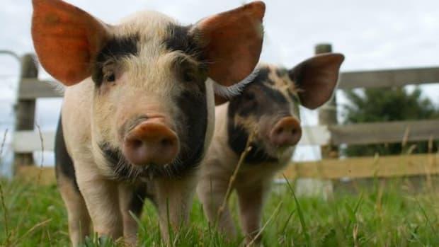 pigs-ccflcr-crispyking
