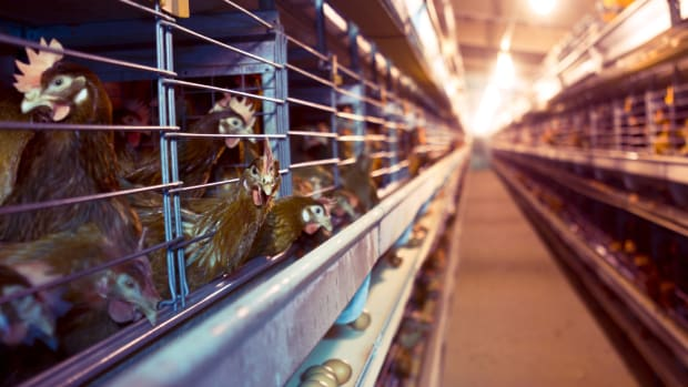 Nestlé Makes Major Cage-Free Eggs Commitment, Sets Ambitious 2020 Deadline