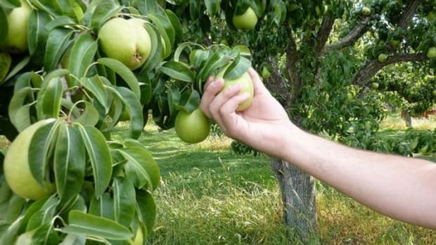 fruittree-ccflcr-Kelowna09