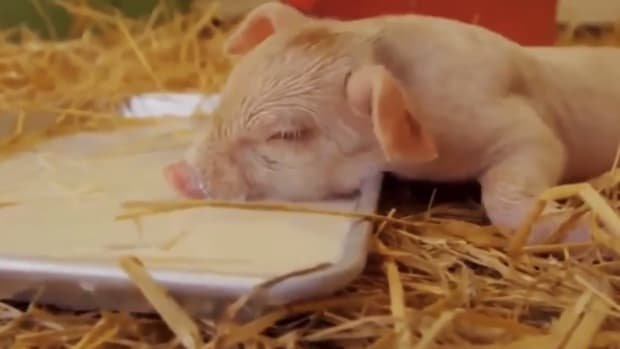 Sleepy Farm Animals Remind Us What Summer is All About [Video]