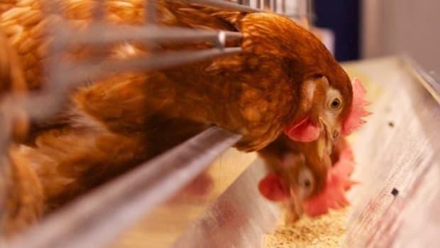chicken-ccflcr-qmnonic
