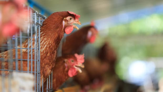 Perdue Adopts Revolutionary Animal Welfare Standards for Half a Billion U.S. Chickens