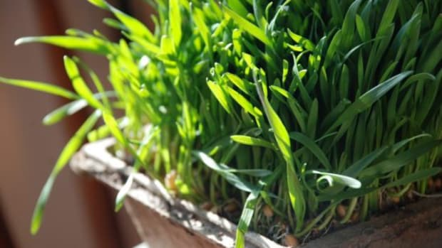 wheatgrass-ccflcr-kthread