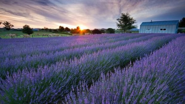 lavender-ccflcr-chrisgin