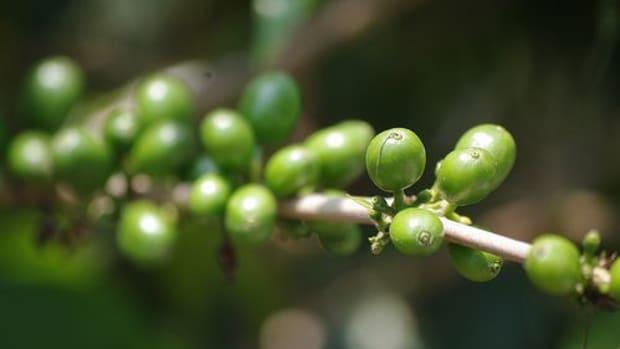 coffeeplant-ccflcr-stickymex