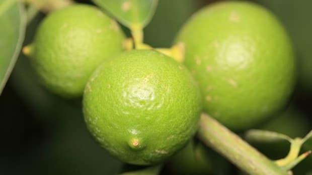 key-lime-ccflcr-tanaka-juuyoh