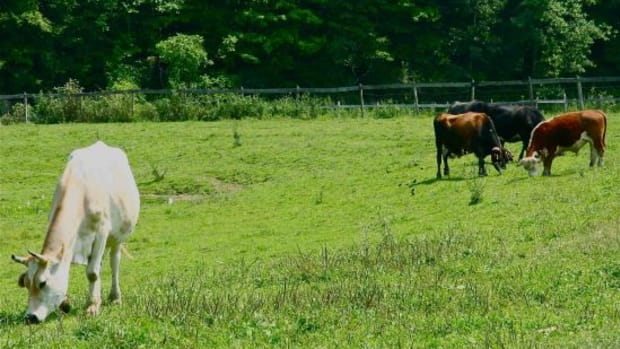 cows-jillslibrary-jillettinger1