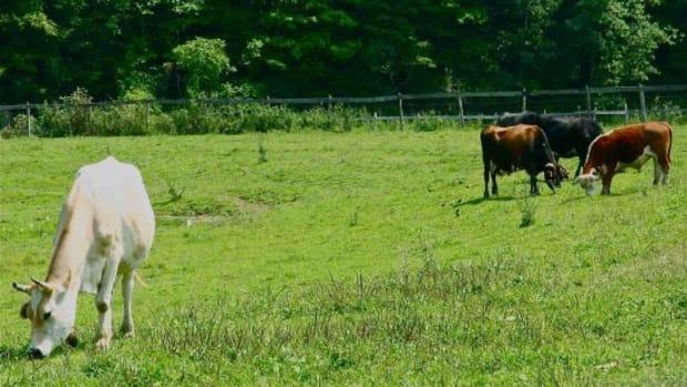 cows-jillslibrary-jillettinger1