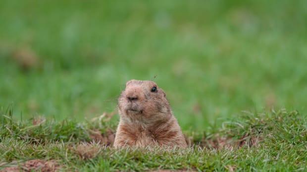Gophers are cute but annoying garden pests.