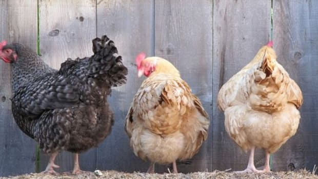 chickens-ccflcr-portmanteaus