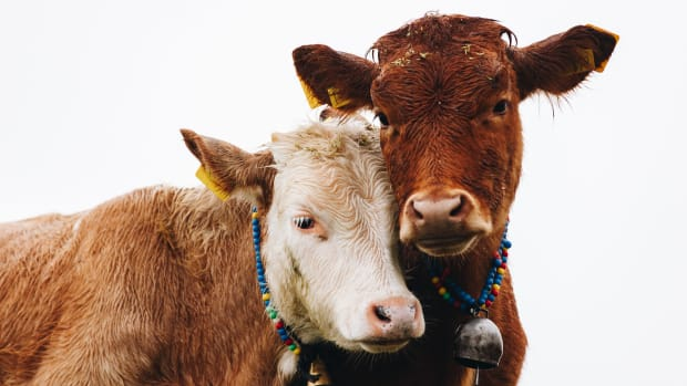 two cows nuzzling