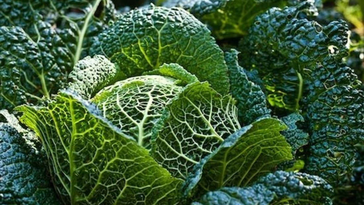11 Varieties Of Cabbage And How To Use Them Organic Authority