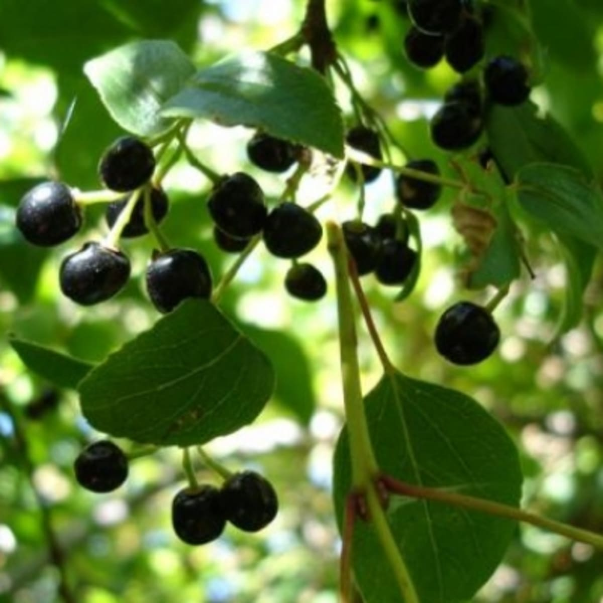 Secret Superfoods Introducing Maqui Berries Organic Authority